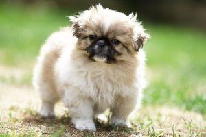 1283141_pekinese_puppy_1